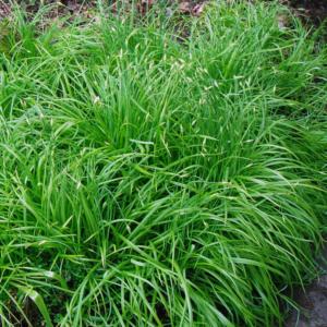 Ожика лесная - Luzula sylvatica