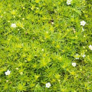 Мшанка шиловидная - Sagina subulata