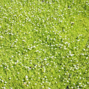 Мшанка шиловидная «Aurea» - Sagina subulata «Aurea»