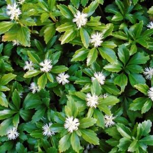 Пахизандра верхушечная «Green Carpet» - Pachysandra terminalis «Green Carpet»