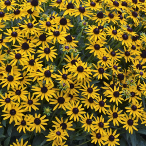 Рудбекия блестящая «Little Goldstar» - Rudbeckia fulgida «Little Goldstar»