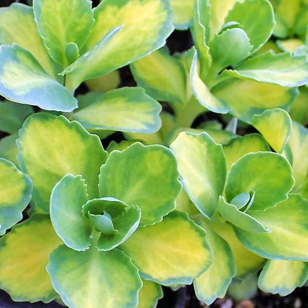 Седум бело-розовый «Mediovariegatum» - Sedum alboroseum «Mediovariegatum»