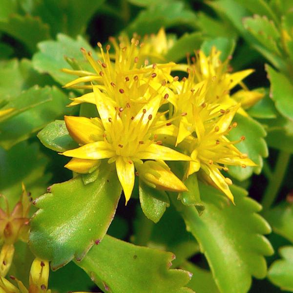 Седум камчатский - Sedum kamtschaticum