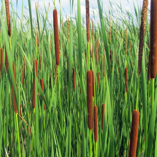Рогоз узколистный - Typha angustifolia