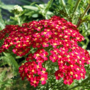 Тысячелистник обыкновенный «Red Beauty» - Achillea tomentosa «Red Beauty»