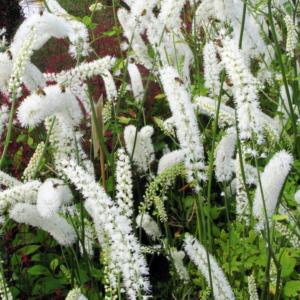 Цимицифуга простая «White Pearl» - Cimicifuga simplex «White Pearl»
