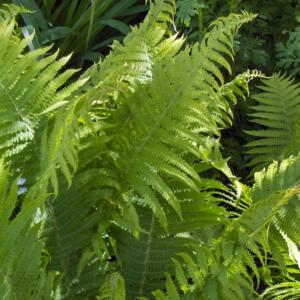Щитовник мужской - Dryopteris filix-mas
