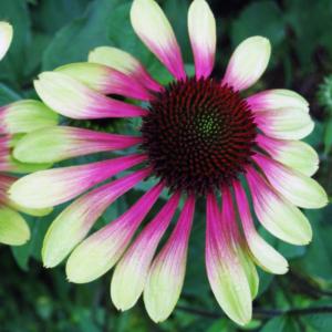 Эхинацея пурпурная «Green Envy» - Echinacea purpurea «Green Envy»