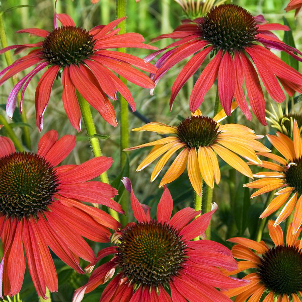 Эхинацея пурпурная «Hot Summer» - Echinacea purpurea «Hot Summer»
