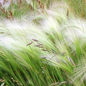 Ячмень гривастый - Hordeum jubatum