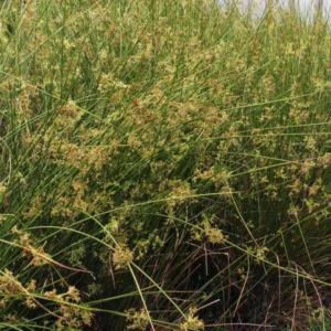 Ситник развесистый - Juncus effusus