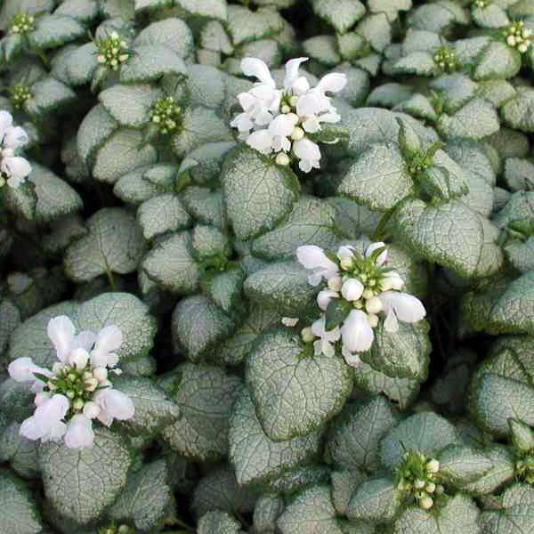 Яснотка пятнистая «White Nancy» - Lamium maculatum «White Nancy»