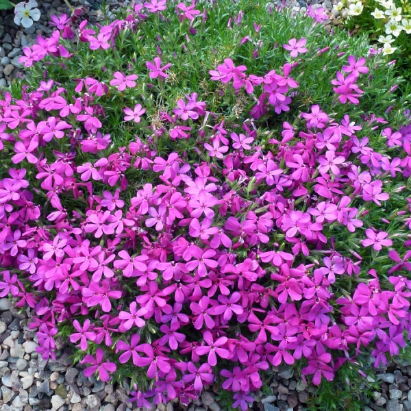 Флокс Дугласа «Crackerjack» - Phlox douglasii «Crackerjack»