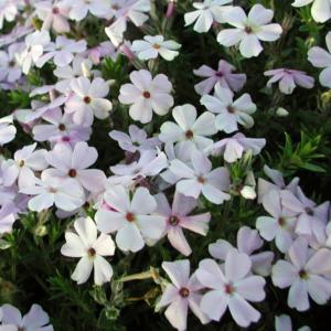 Флокс Дугласа «Lilac Cloud» - Phlox douglasii «Lilac Cloud»