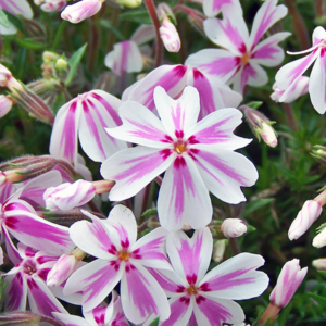 Флокс шиловидный «Candy Stripe» - Phlox subulata «Candy Stripe»