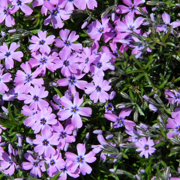 Флокс шиловидный «Purple Beauty» - Phlox subulata «Purple Beauty»