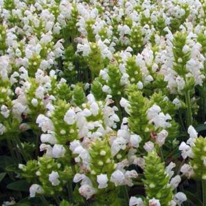 Черноголовка крупноцветковая «Alba» - Prunella grandiflora «Alba»