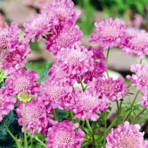 Скабиоза голубиная «Pink Mist» - Scabiosa columbaria «Pink Mist»