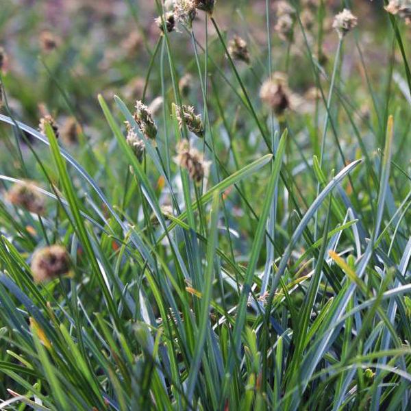 Сеслерия голубая - Sesleria caerulea