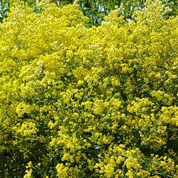 Солидастер желтый «Lemore» - Solidaster luteus «Lemore»