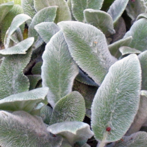 Стахис шерстистый «Silver Carpet» - Stachys lanata «Silver Carpet»