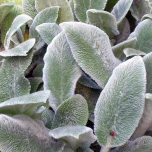 Стахис шерстистый «Silver Carpet» - Stachys lanata «Silver Carpet»