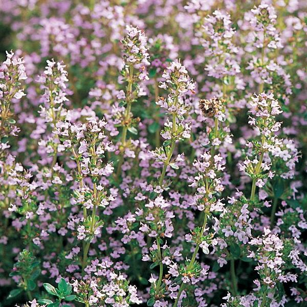 Тимьян обыкновенный - Thymus vulgaris