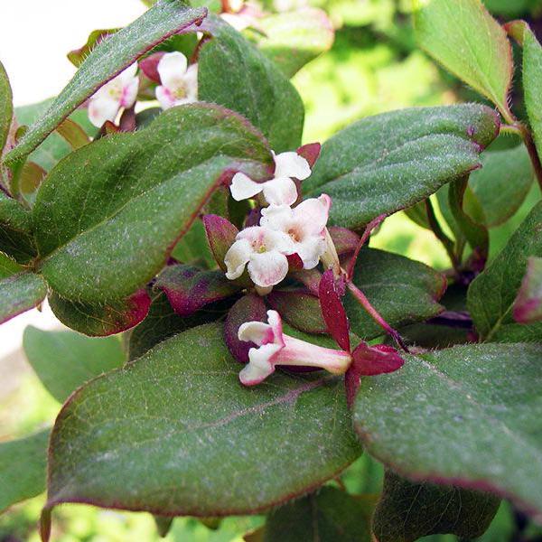Абелия корейская - Abelia coreana
