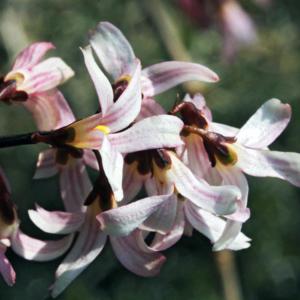 Абелиолистник двурядный «Roseum» - Abeliophyllum distichum «Roseum»