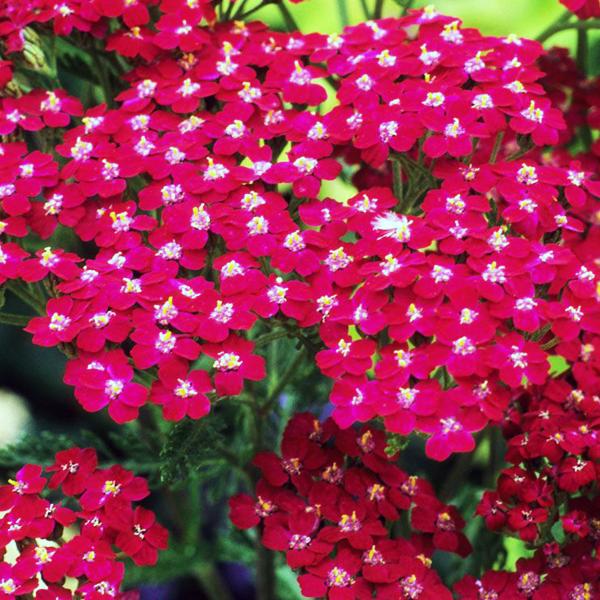 Тысячелистник обыкновенный «Cassis» - Achillea millefolium «Cassis»