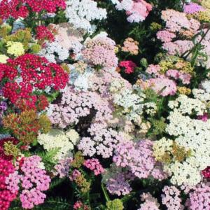 Тысячелистник обыкновенный «Colorado» - Achillea millefolium «Colorado»