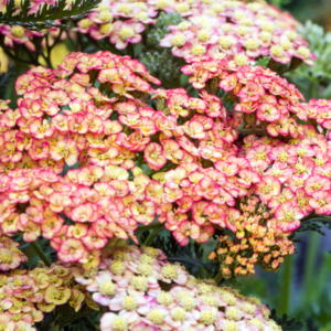 Тысячелистник обыкновенный «Tricolor» - Achillea millefolium «Tricolor»