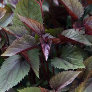 Посконник морщинистый «Chocolate» - Ageratina altissima «Chocolate»