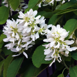 Ирга ольхолистная «Honeywood» - Amelanchier alnifolia «Honeywood»