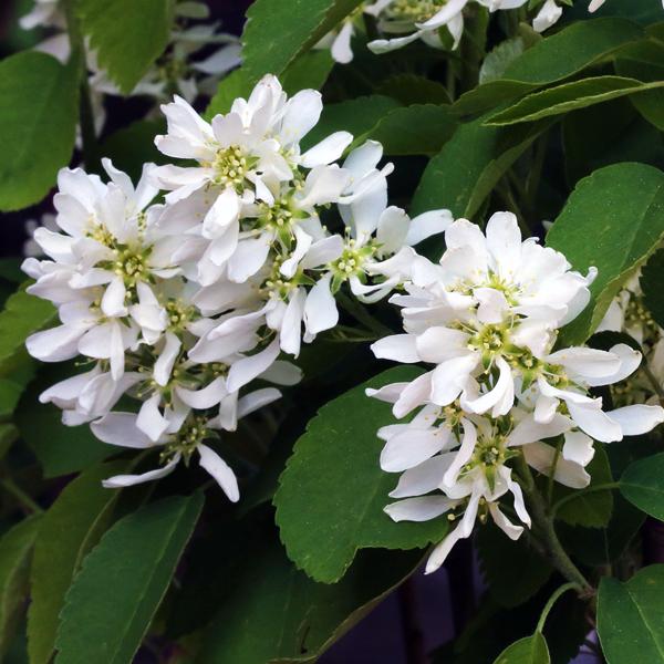 Ирга ольхолистная «Honeywood» - Amelanchier alnifolia «Honeywood»
