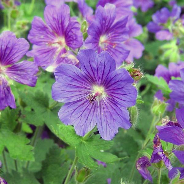 Герань гималайская «Johnson's Blue» - Geranium himalayense «Johnson's Blue»