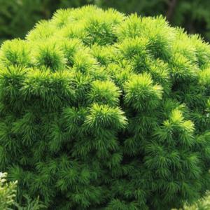 Ель канадская «Alberta Globe» - Picea glauca «Alberta Globe»