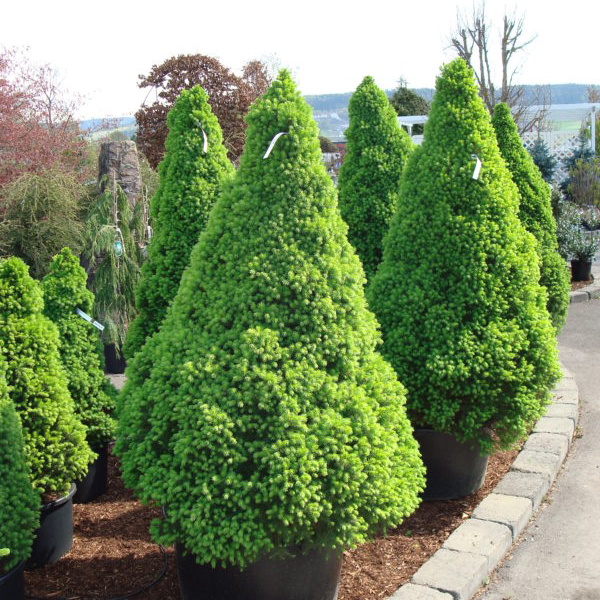 Ель канадская «Conica» - Picea glauca «Conica»