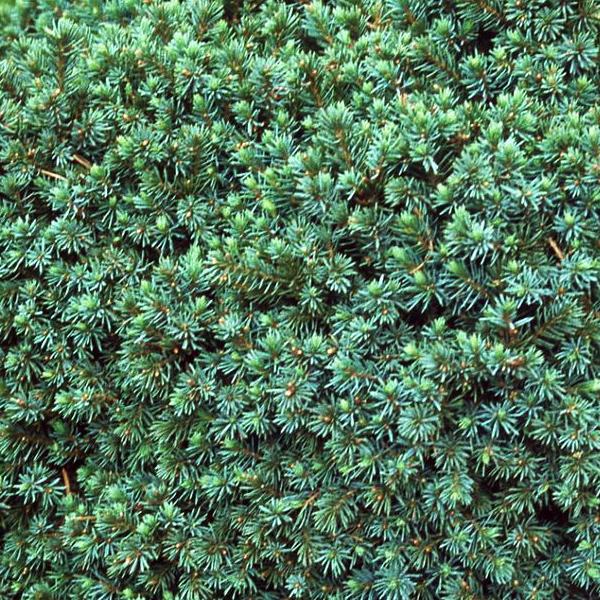 Ель канадская «Echiniformis» - Picea glauca «Echiniformis»