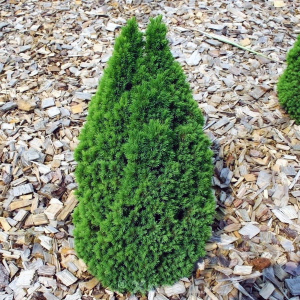 Ель канадская «Laurin» - Picea glauca «Laurin»