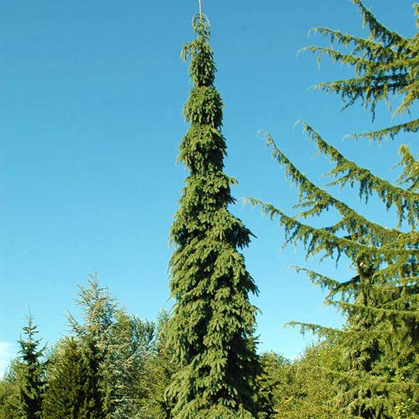 Ель канадская «Pendula» - Picea glauca «Pendula»