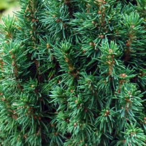Ель канадская «Zuckerhut» - Picea glauca «Zuckerhut»