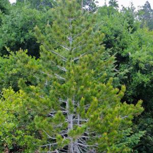 Сосна белокорая - Pinus albicaulis