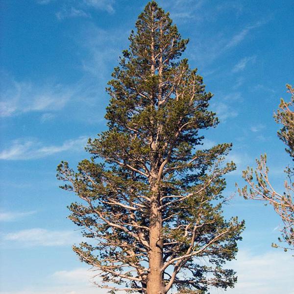 Сосна скрученная - Pinus contorta