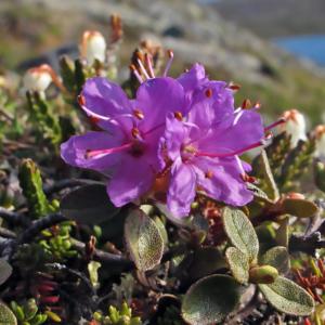 Рододендрон лапландский - Rhododendron lapponicum