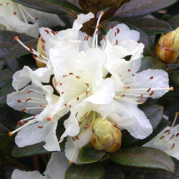 Рододендрон лапландский «Cream Crest» - Rhododendron lapponicum «Cream Crest»