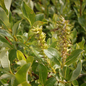 Ива копьевидная - Salix hastata