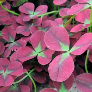 Клевер ползучий «Isabella» - Trifolium repens «Isabella»