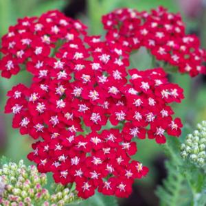 Тысячелистник обыкновенный «Laura» - Achillea millefolium «Laura»