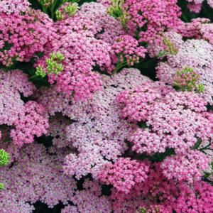 Тысячелистник обыкновенный «Little Susie» - Achillea millefolium «Little Susie»